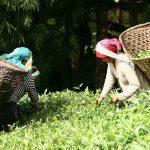 産地直送のお茶をネパールのお土産に